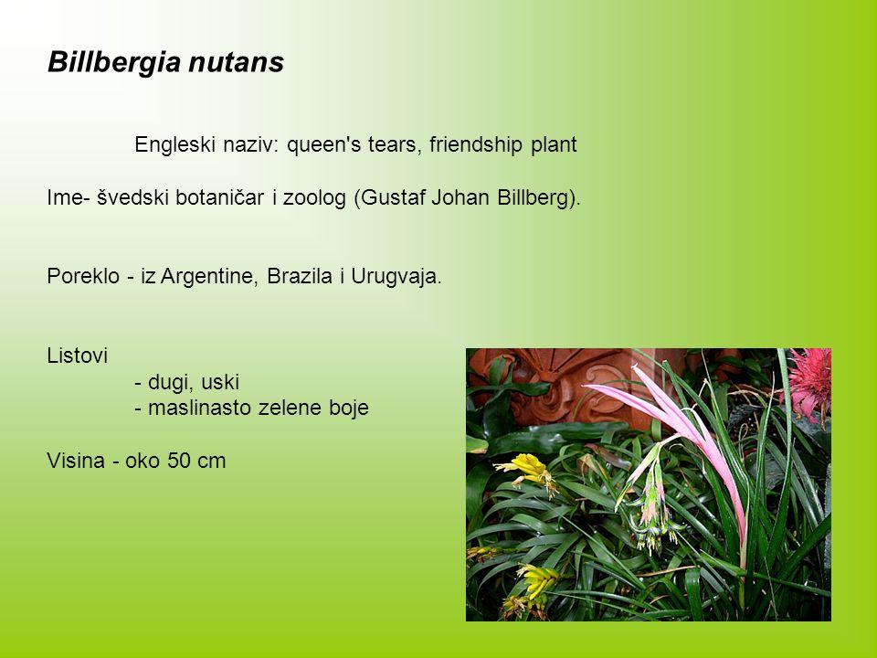 Billbergia nutans Engleski naziv: queen s tears, friendship plant