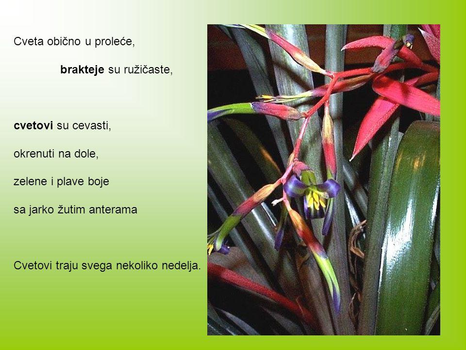 Cveta obično u proleće, brakteje su ružičaste, cvetovi su cevasti, okrenuti na dole, zelene i plave boje.