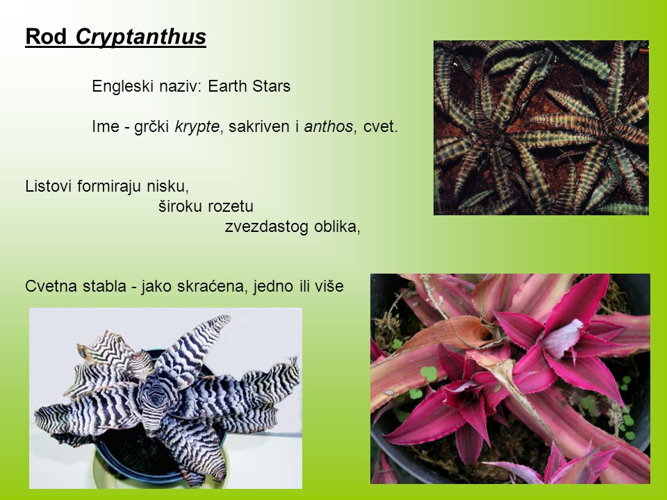 Rod Cryptanthus Engleski naziv: Earth Stars