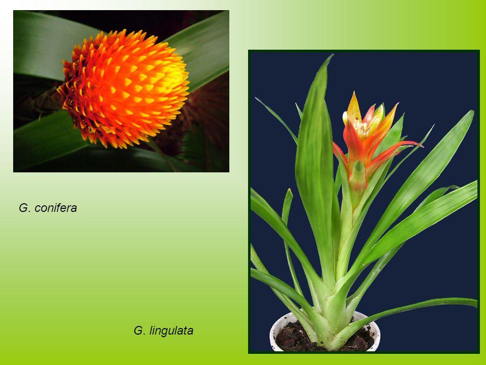 G. conifera G. lingulata
