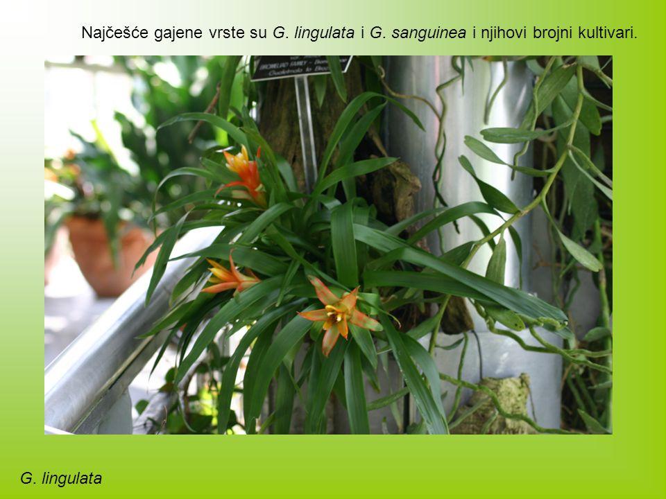 Najčešće gajene vrste su G. lingulata i G