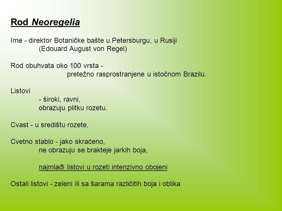 Rod Neoregelia Ime - direktor Botaničke bašte u Petersburgu, u Rusiji