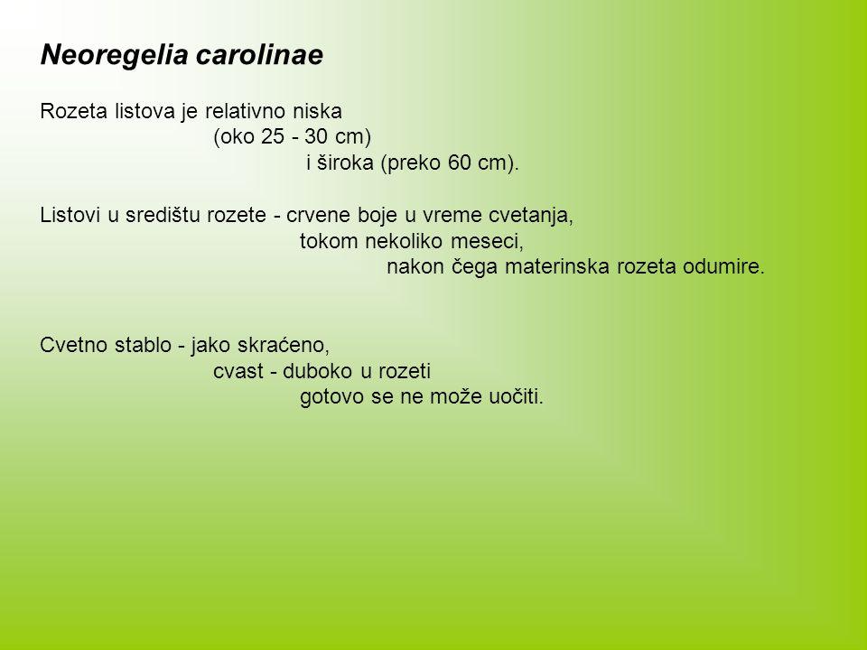 Neoregelia carolinae Rozeta listova je relativno niska