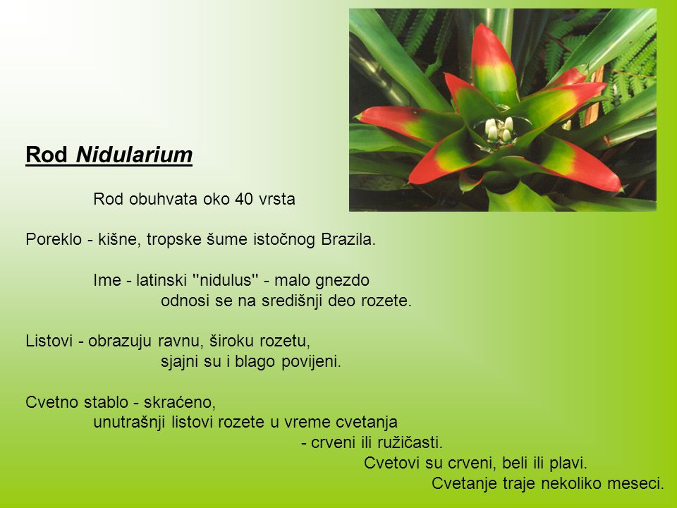 Rod Nidularium Rod obuhvata oko 40 vrsta