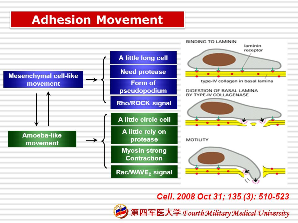 Mesenchymal cell-like movement