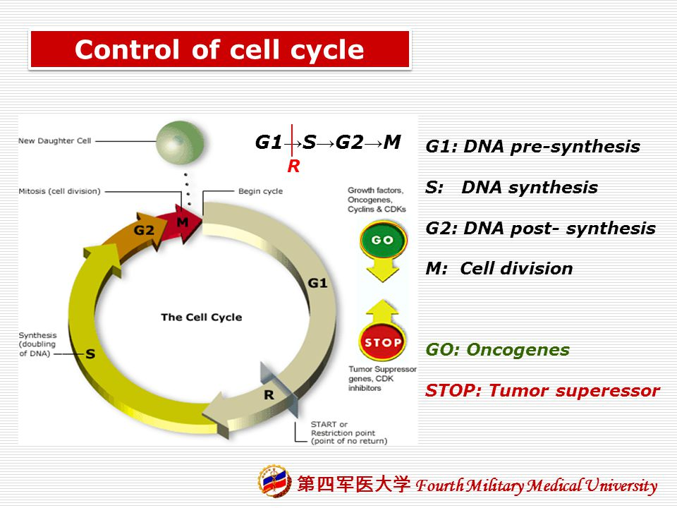 Control of cell cycle G1→S→G2→M G1: DNA pre-synthesis S: DNA synthesis