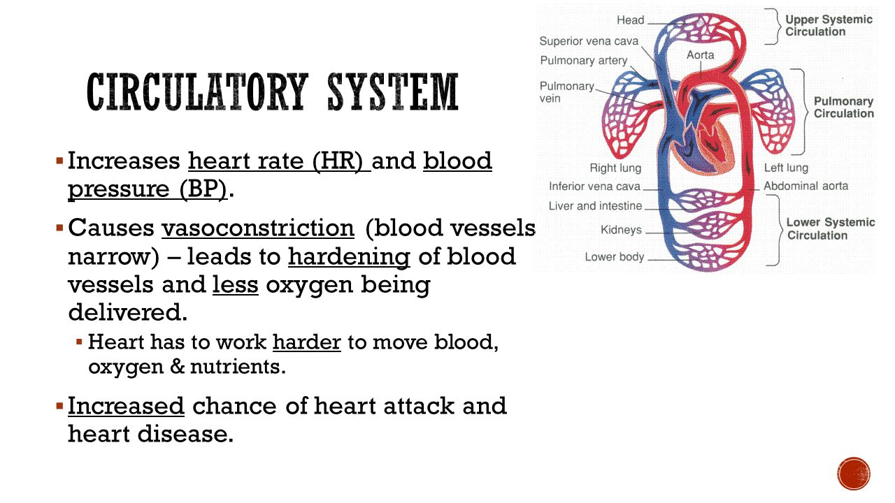 Circulatory System Increases heart rate (HR) and blood pressure (BP).