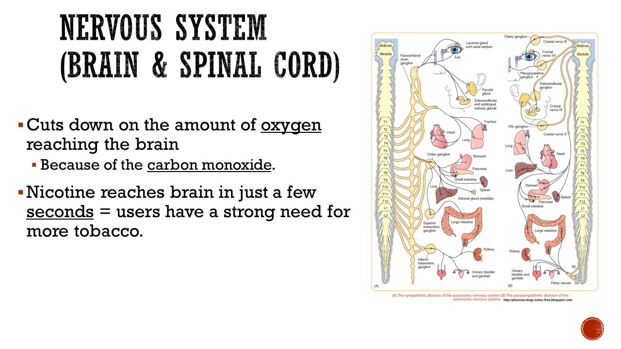 Nervous System (brain & Spinal Cord)
