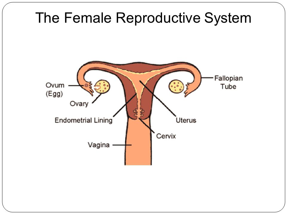 female reproductive system research paper Below is an essay on female reproductive system from anti essays, your  source for research papers, essays, and term paper examples.