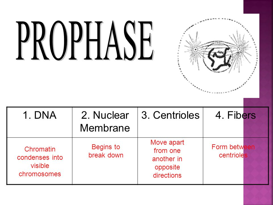 PROPHASE 1. DNA 2. Nuclear Membrane 3. Centrioles 4. Fibers