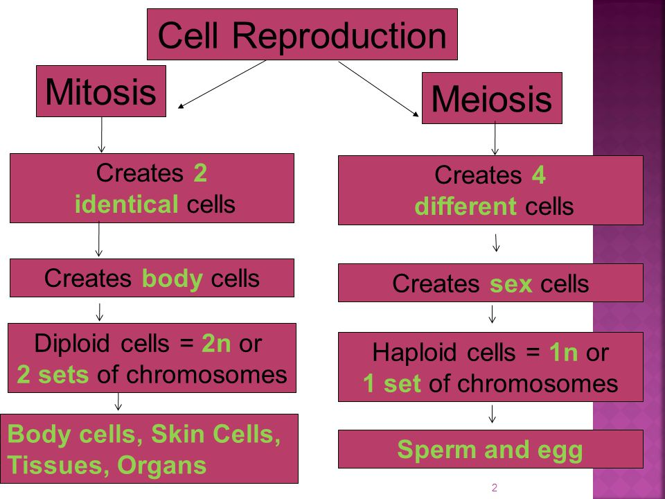 Cell Reproduction Mitosis Meiosis Creates 2 Creates 4 identical cells