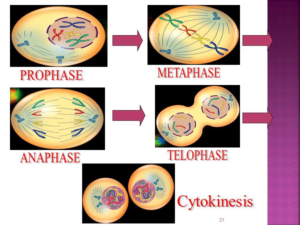 METAPHASE PROPHASE TELOPHASE ANAPHASE Cytokinesis