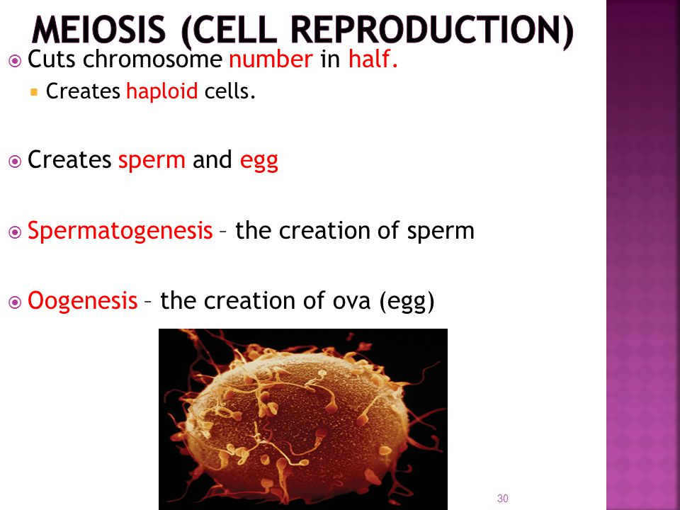 Meiosis (cell reproduction)