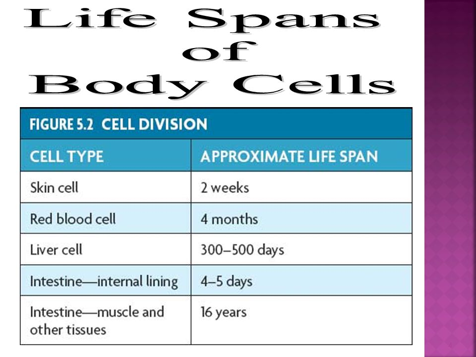 Life Spans of Body Cells