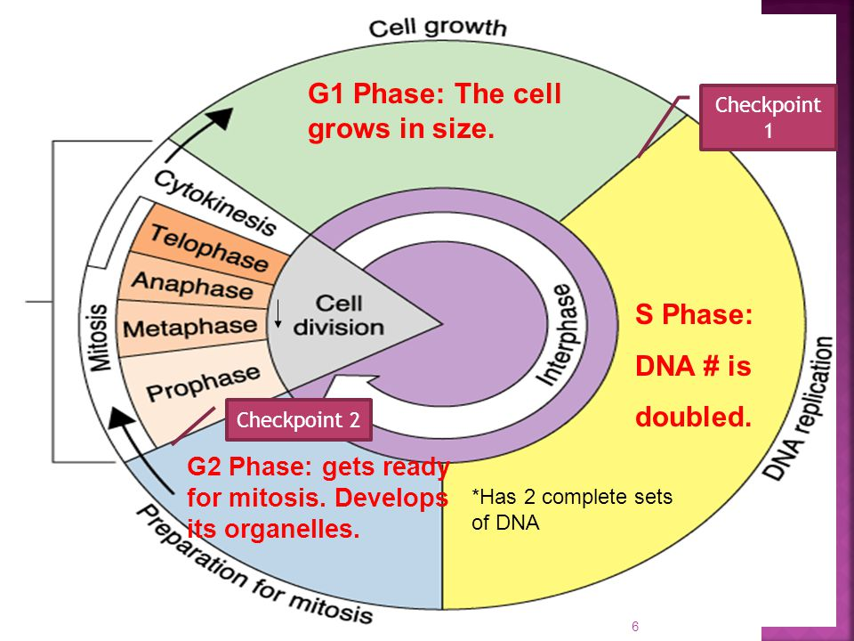 G1 Phase: The cell grows in size.