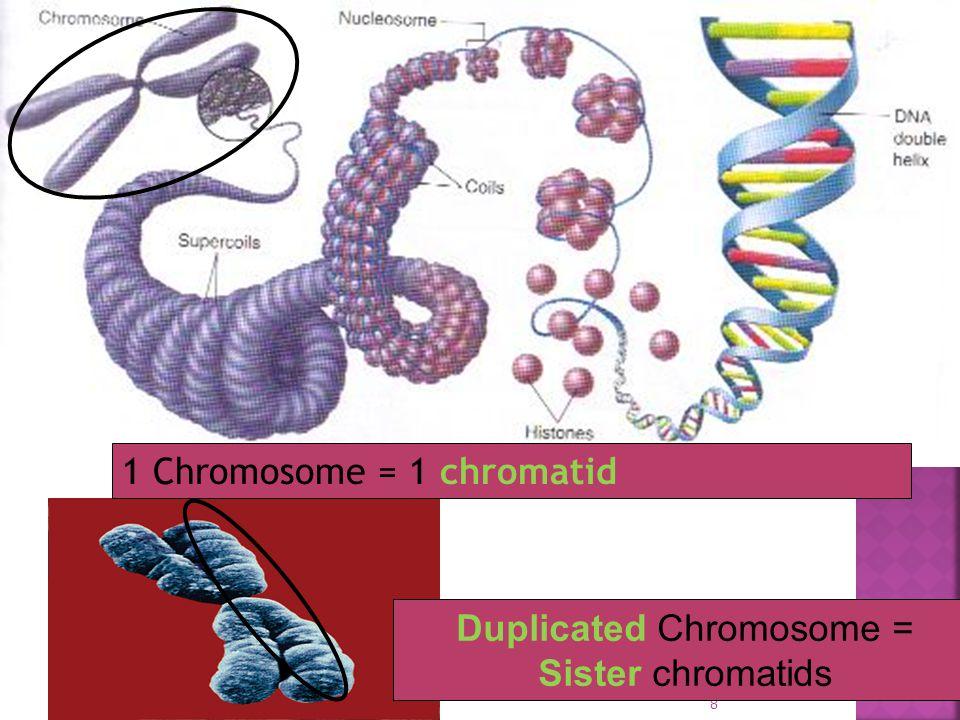 Duplicated Chromosome = Sister chromatids