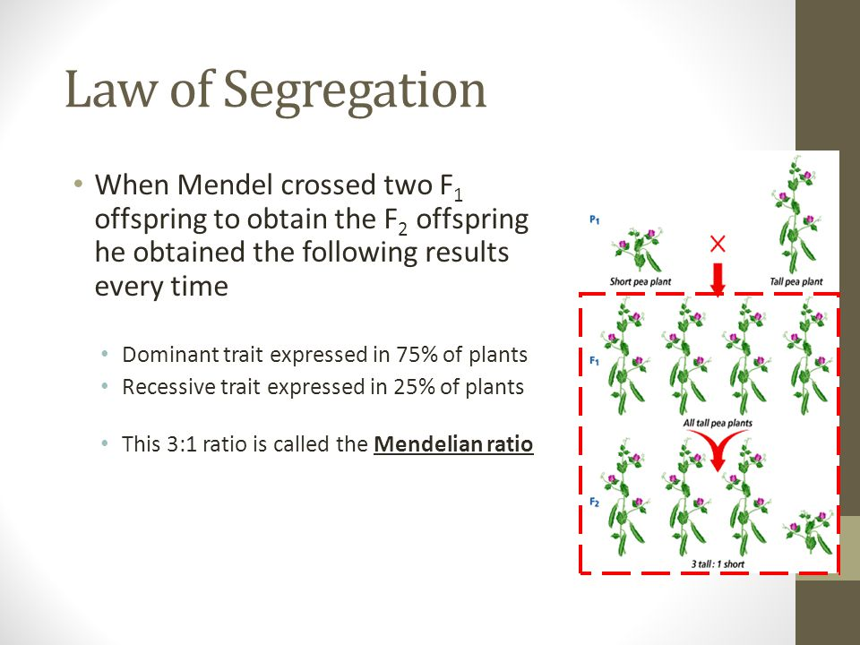 Law of Segregation When Mendel crossed two F1 offspring to obtain the F2 offspring he obtained the following results every time.