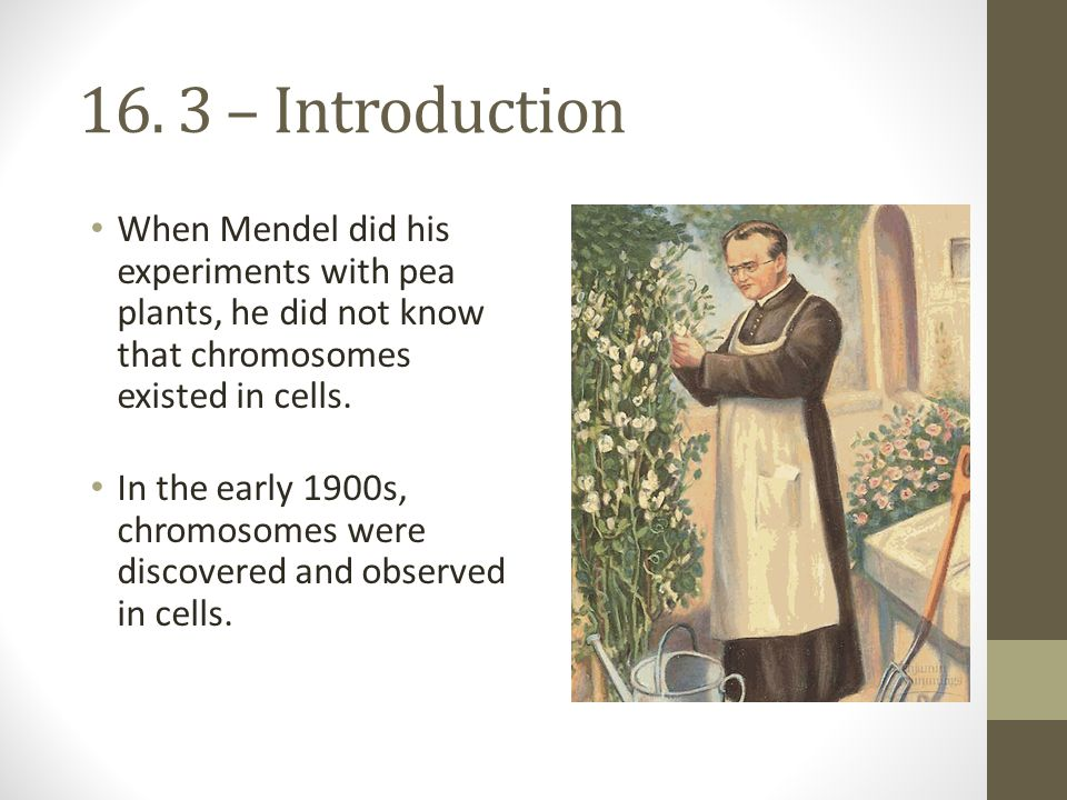 16. 3 – Introduction When Mendel did his experiments with pea plants, he did not know that chromosomes existed in cells.
