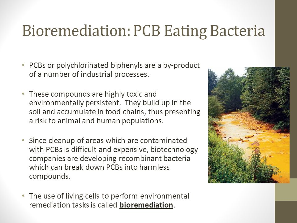 Bioremediation: PCB Eating Bacteria