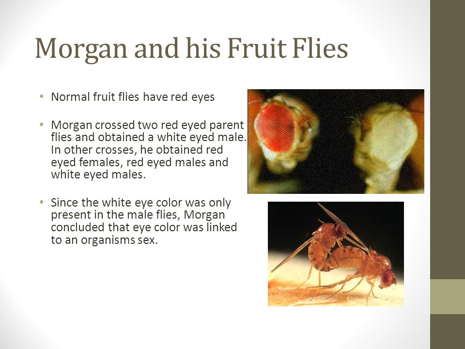 Morgan and his Fruit Flies