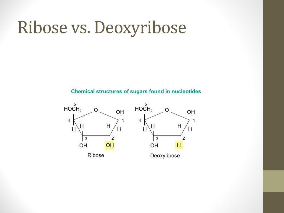Ribose vs. Deoxyribose