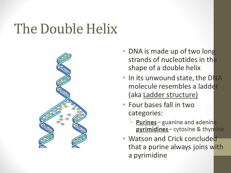 The Double Helix DNA is made up of two long strands of nucleotides in the shape of a double helix.