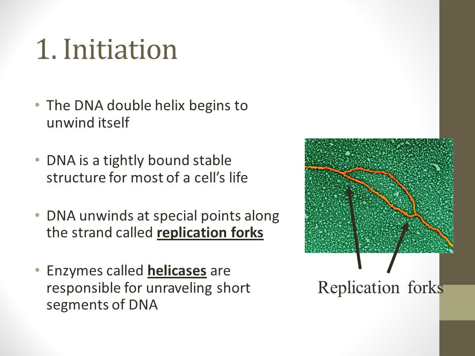 1. Initiation Replication forks