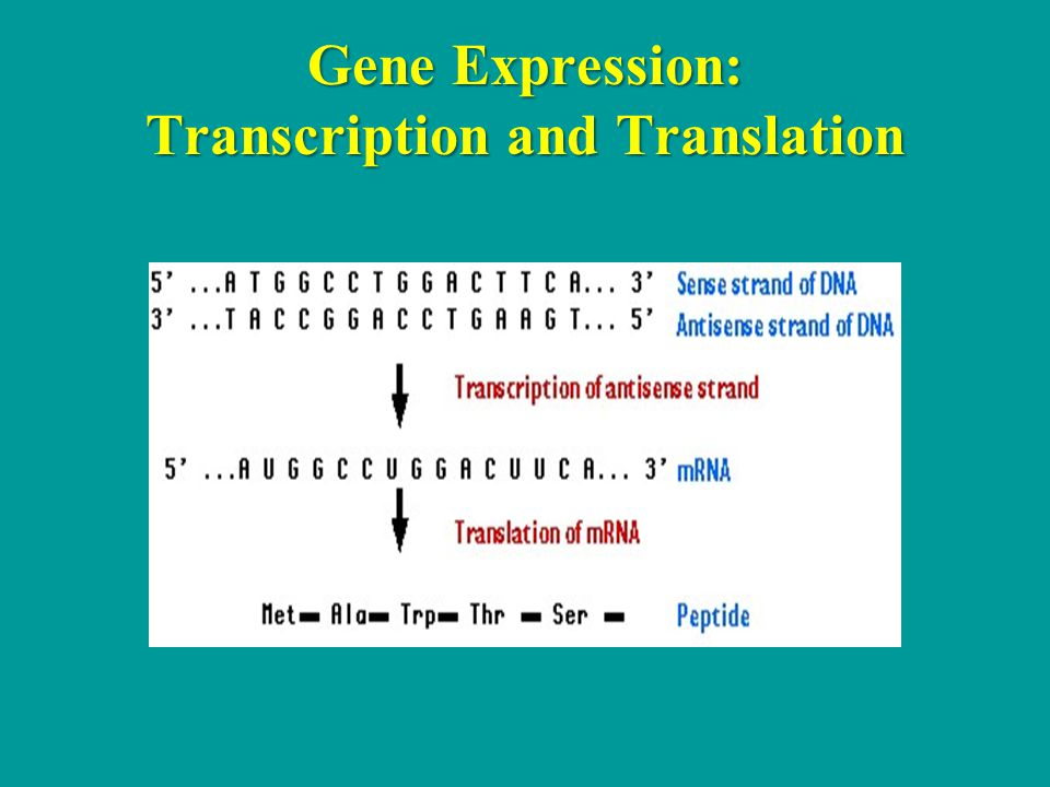Gene Expression: Transcription and Translation