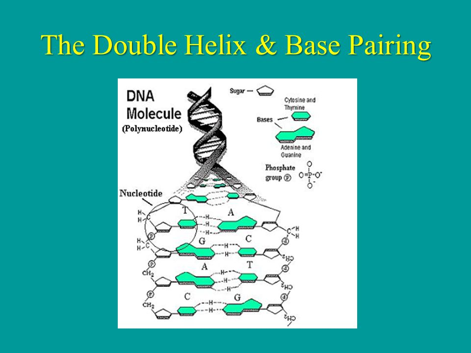 The Double Helix & Base Pairing