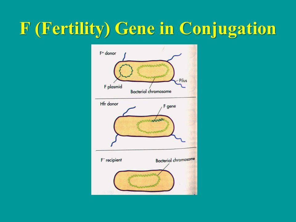 F (Fertility) Gene in Conjugation
