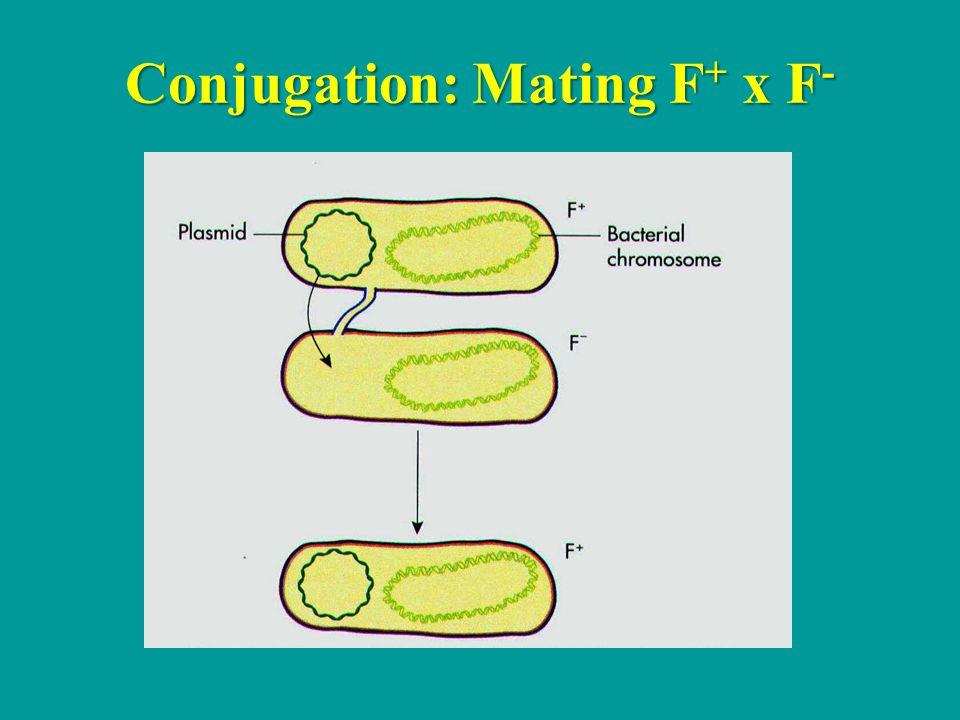 Conjugation: Mating F+ x F-