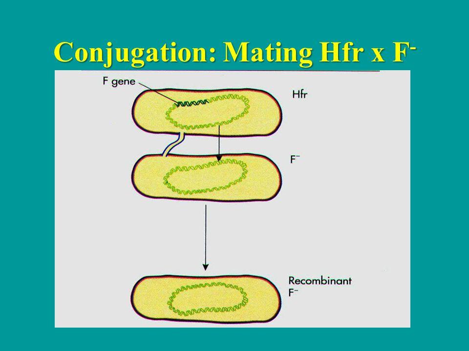 Conjugation: Mating Hfr x F-