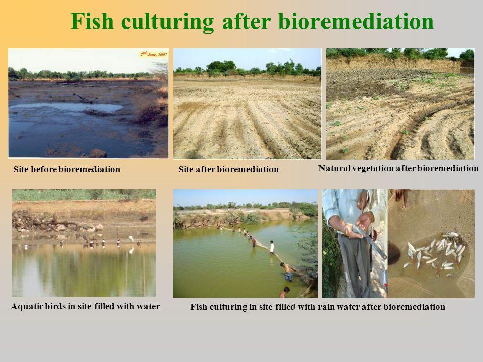 Fish culturing after bioremediation
