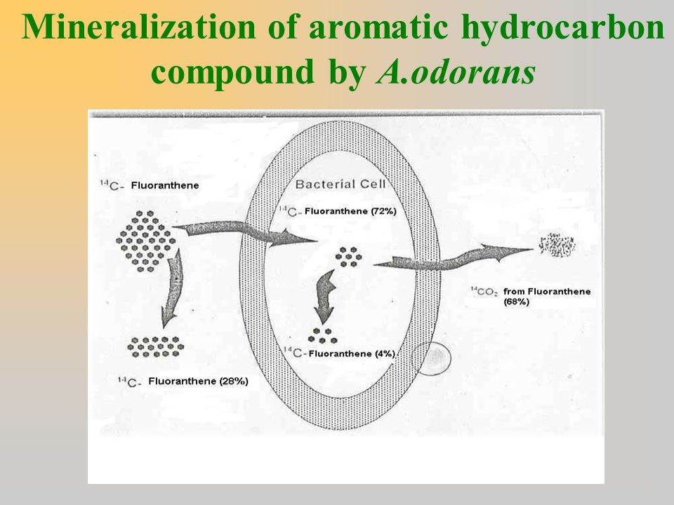 Mineralization of aromatic hydrocarbon compound by A.odorans