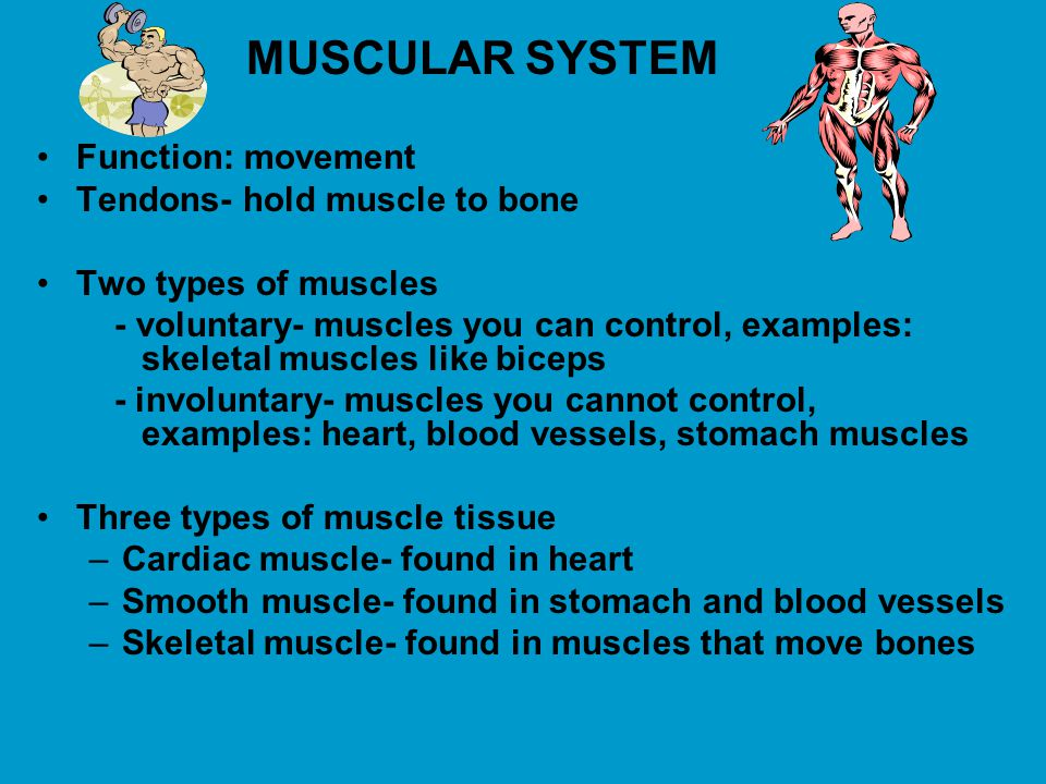 Tendons- hold muscle to bone Two types of muscles