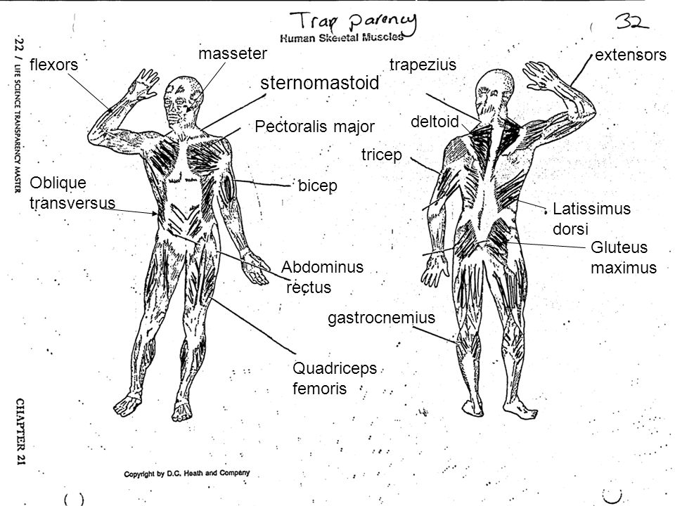 sternomastoid extensors masseter flexors trapezius deltoid