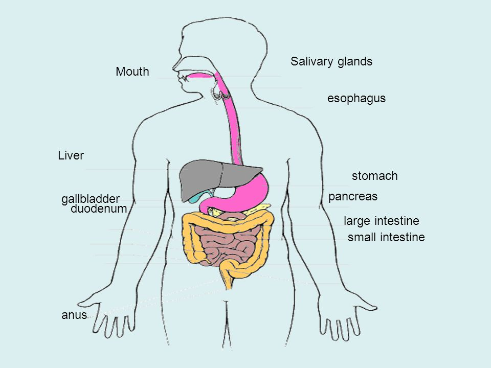 Salivary glands Mouth. esophagus. Liver. stomach. gallbladder. pancreas. duodenum. large intestine.