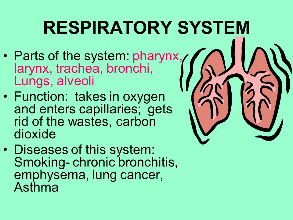RESPIRATORY SYSTEM Parts of the system: pharynx, larynx, trachea, bronchi, Lungs, alveoli.