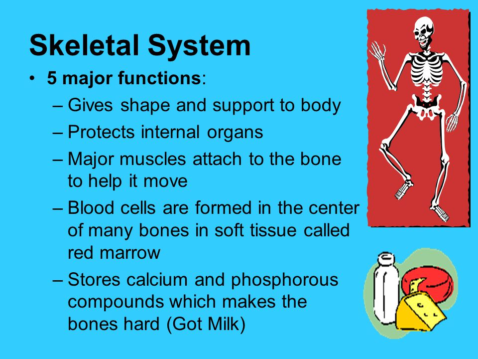 Skeletal System 5 major functions: Gives shape and support to body