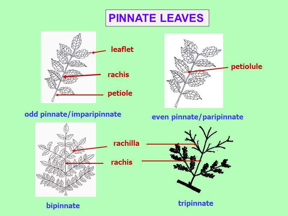 PINNATE LEAVES leaflet petiolule petiole odd pinnate/imparipinnate