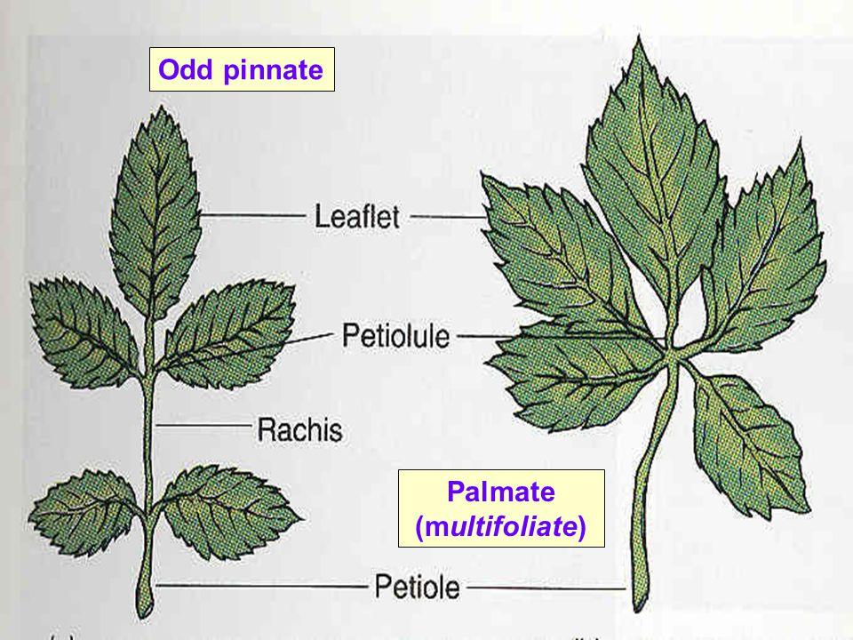 Palmate (multifoliate)