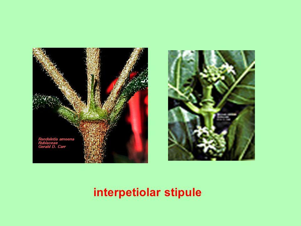 interpetiolar stipule