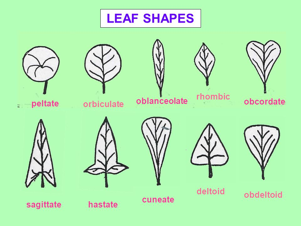 LEAF SHAPES peltate orbiculate oblanceolate rhombic obcordate