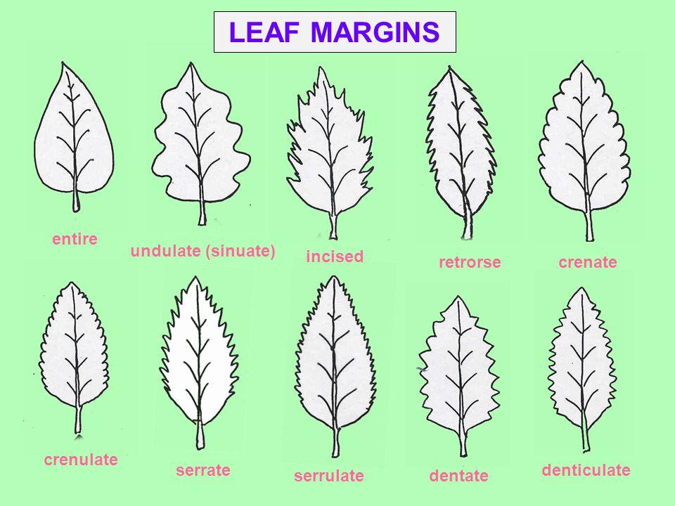 LEAF MARGINS entire undulate (sinuate) incised retrorse crenate
