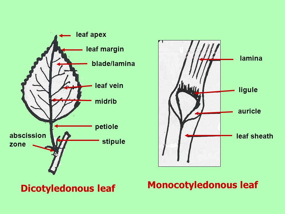 Monocotyledonous leaf
