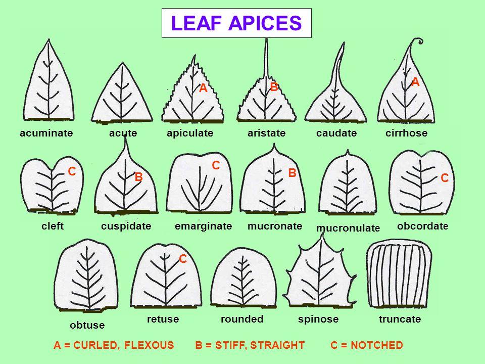LEAF APICES A B C acuminate acute apiculate aristate caudate cirrhose