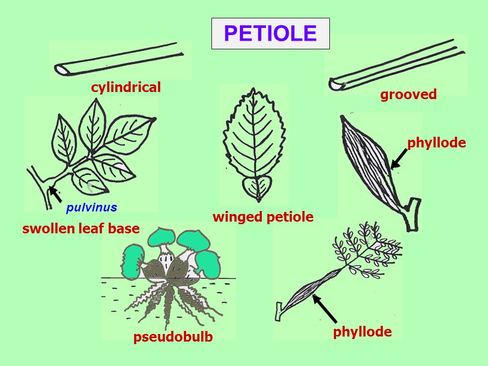 PETIOLE cylindrical grooved phyllode winged petiole swollen leaf base