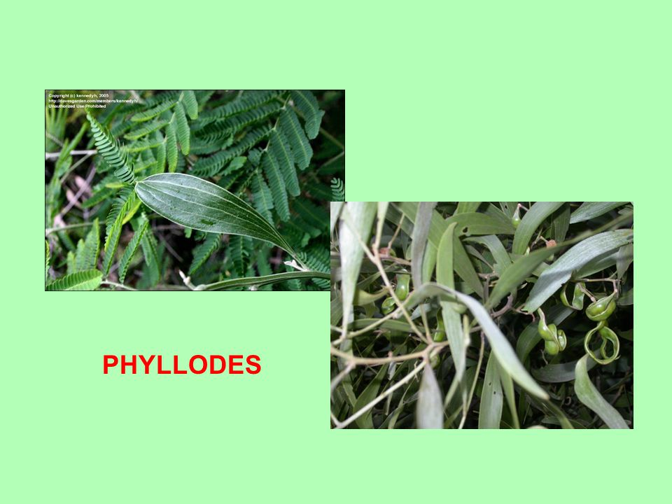 PHYLLODES