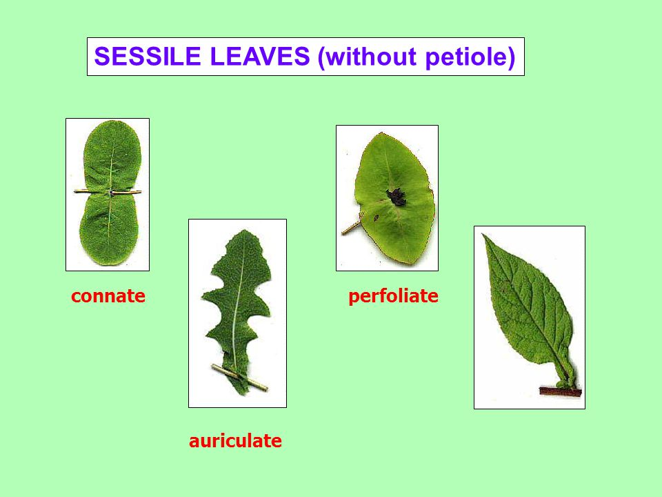 SESSILE LEAVES (without petiole)