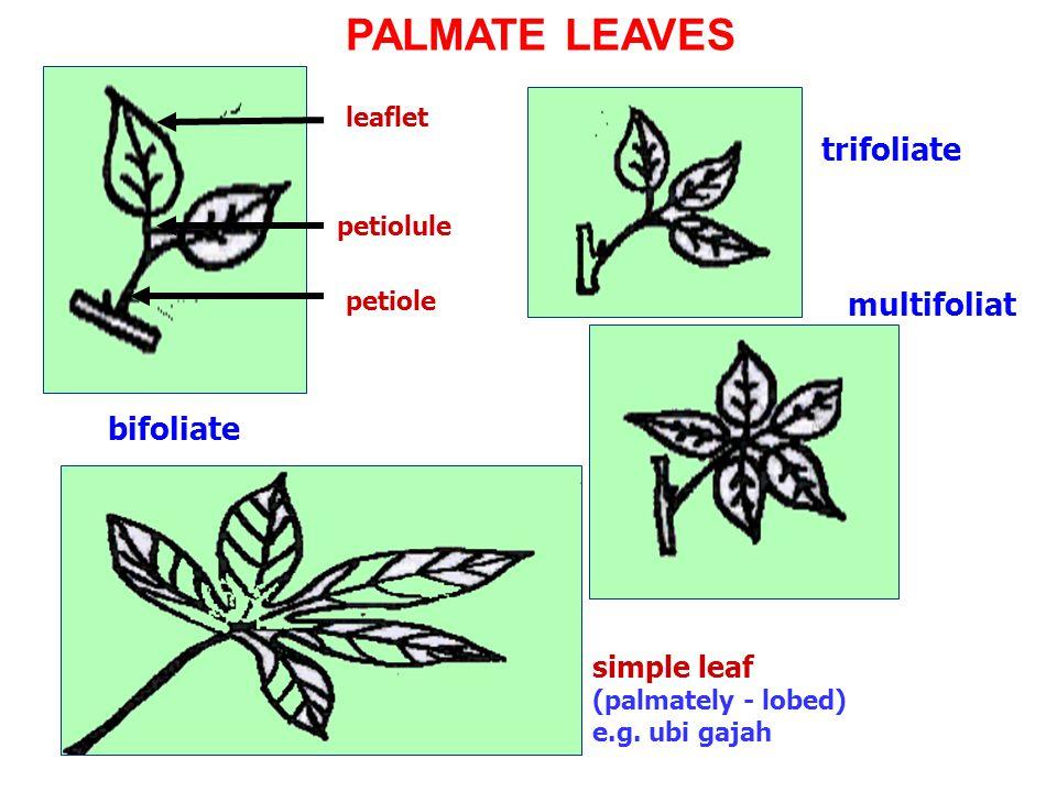 PALMATE LEAVES trifoliate multifoliate bifoliate simple leaf leaflet